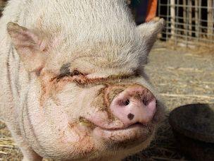 1024px-pig-hog